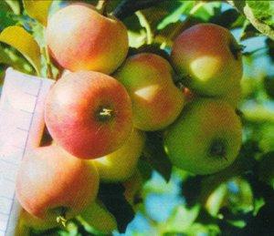 Яблоня полукультурка   сорт Минусинское летнее