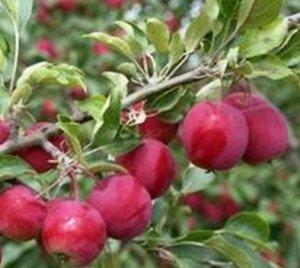 Яблоня полукультурка сорт Алтайское багряное