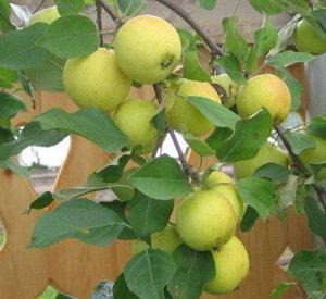 Яблоня  крупноплодная  сорт Китайка золотая