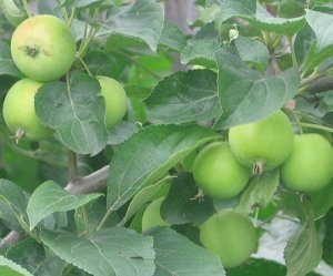 Яблоня полукультурка сорт Уральское наливное