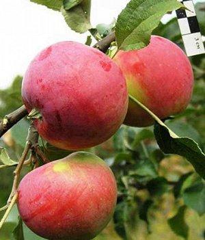 Яблоня  крупноплодная  сорт Сувенир Алтая