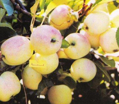 Саженцы жимолости, малины, смородины из Сибири — осень 2021 — Яблоня крупноплодная