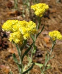 Бессмертник песчаный (цветки) 50 гр.