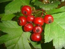 Боярка (плоды) 50 гр.
