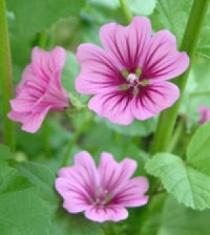 Мальва цветки 50 гр.