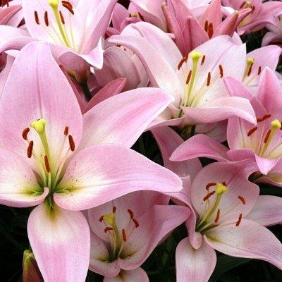 Невероятные сорта! Лилии, розы, пионы! На осеннюю посадку!  — Лилии ЛА-гибриды — Декоративноцветущие