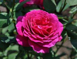 Роза (чайно-гибридная) - Биг Пёпл