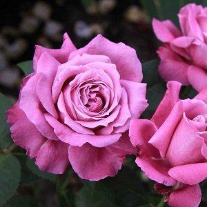 Роза (чайно-гибридная) - Виолет Парфюм