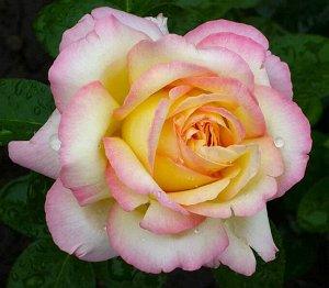 Роза (чайно-гибридная) - Глория Дей