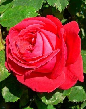 Роза (чайно-гибридная) - Дам де Кер