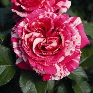 Роза (чайно-гибридная) - Имэджин