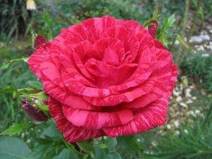 Роза (чайно-гибридная) - Ред Интуишн
