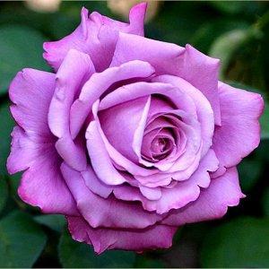 Роза (чайно-гибридная) - Шарль де Голь