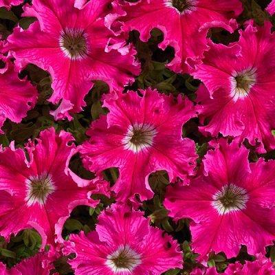 Семена от бегонии до петунии, а также семена овощей и зелени — Цветы однолетние. ПЕТУНИИ — Семена цветов