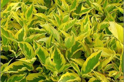 Ваша прекрасная зеленая изгородь. — Живая изгородь — Декоративноцветущие