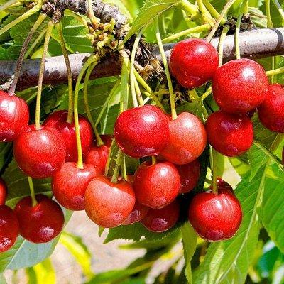 Саженцы плодовых и декоративных растений! Последняя в сезоне — Черешня — Плодово-ягодные