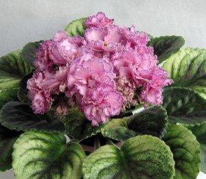 Фиалка Розовые махровые цветы с фуксиевой крапчатой каймой на розетке с кроновой пестролистностью.