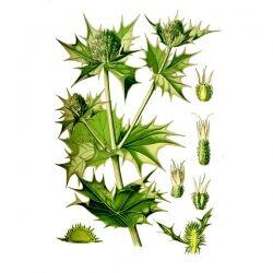 Синеголовник плосколистный, трава, 50 гр