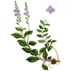 Вероника лекарственная, трава, 50 гр