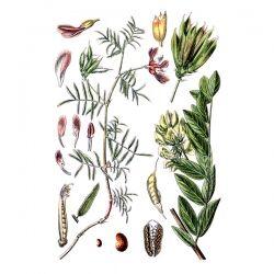 Астрагал перепончатый, трава, 50 гр