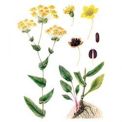 Володушка золотистая, трава, 100 гр