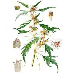 Дурнишник обыкновенный, плоды и трава, 50 гр
