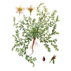 Горец птичий, трава, 50 гр