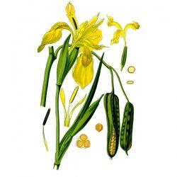 Ирис бледный, трава, 50 гр