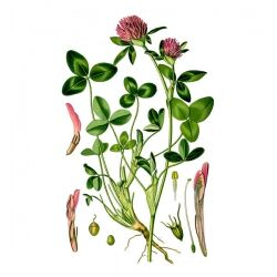 Клевер луговой, трава, 50 гр