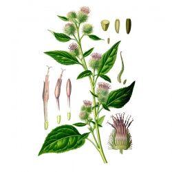Лопух, корень, 50 гр