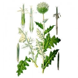 Мордовник обыкновенный, семена, 50 гр