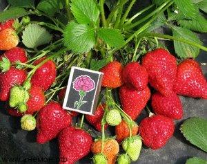 Хоней ЗКС ВНИМАНИЕ!!! Растения НЕ Голландия, все районированные, адаптированы, 100 % соответствие сорту! Растения в горшках.