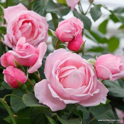 Розы Сибири! Таких цен больше не будет! На осеннюю посадку — Клаймберы