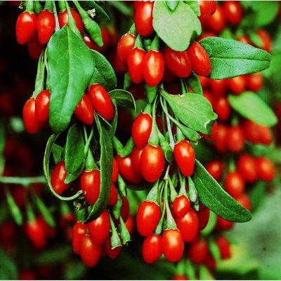 Саженцы- вашей мечты🌿 В пути — Годжи: — Плодово-ягодные