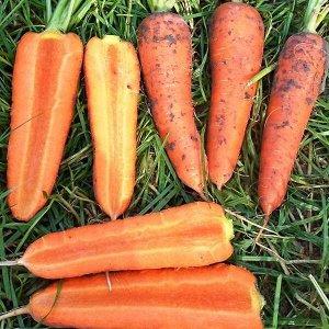 Морковь Вита Лонга