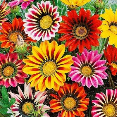 Семена плодово-ягодных кустарников и других растений — Семена однолетних цветов . — Семена однолетние