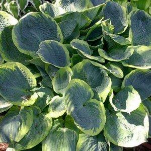 Пиззазз Размер растения: 45*80  Хосты - многолетние растения с компактным или коротковетвистым корневищем. Листья прикорневые, на черешках, сравнительно крупные, разной окраски и формы: зеленые, голуб
