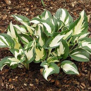 Пол Ревир Размер растения: 40*75  Хосты - многолетние растения с компактным или коротковетвистым корневищем. Листья прикорневые, на черешках, сравнительно крупные, разной окраски и формы: зеленые, гол