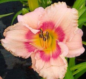Розанна Луковицы лилейника гибридного Розанна станут отличным подарком любому садоводу. Интересный сорт, который, как и многие другие гибридные лилейники, радует своими контрастными оттенками. На куст