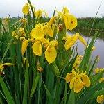 Ирис болотный высокий желтый
