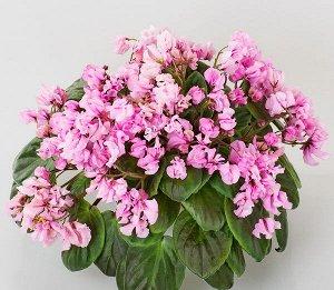 Фиалка Полуминиатюрный трейлер. Розовые махровые цветы – осы среднего размера. Зелёная листва. Постоянное обильное цветение.