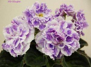 Фиалка Очень крупные, махровые, объёмные белые цветы с яркими розовыми напечатками и сиреневым фэнтези по ним. Яркое обильное цветение. Тёмно - зелёная листва. (Описание автора).