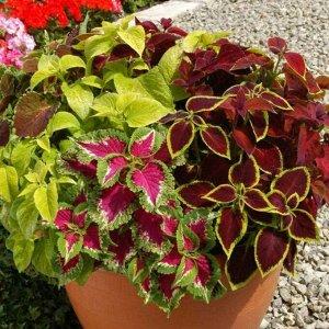 Цветы Колеус Радуга, смесь (зел.дом) (0,05г)