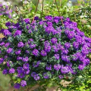Цветы Вербена ампельная Имаджинейшен (100шт)