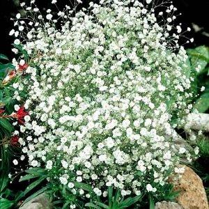 Цветы Гипсофила Снежинка многолетняя (0,2г)