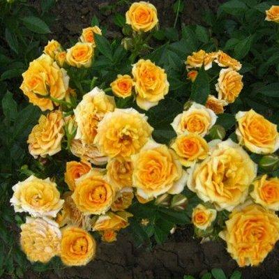 Розы Сибири - шикарные новинки! — Спрей/мини — Декоративноцветущие