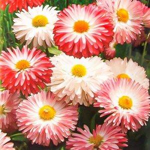 Цветы Маргаритка Снежная Королева, смесь (300шт)