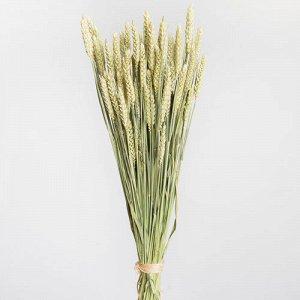 Тритикум (пшеница). Сухоцвет