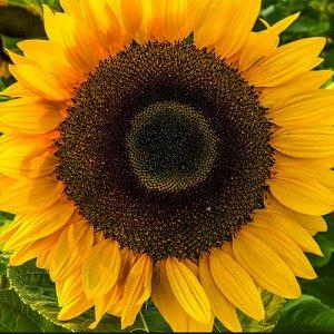 Подсолнечник Солнечный круг