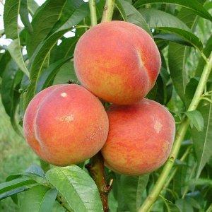 Персик карликовый Кондор () около 80см